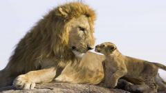 Baby Lion Wallpaper 30535
