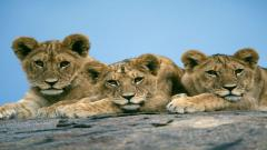 Baby Lions 30527