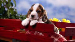 Beagle Wallpaper 4233