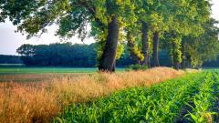 Beautiful Corn Background 37683