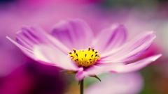 Beautiful Cosmos Flowers 29235