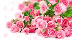 Beautiful Pink Roses Wallpaper 23379
