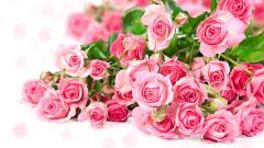 Beautiful Pink Roses Wallpaper 23379