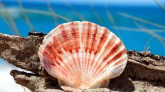 Beautiful Seashell Wallpaper 25190