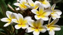 Beautiful White Frangipani Flowers Wallpaper 44997