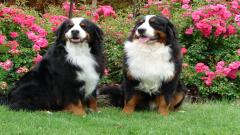 Bernese Mountain Dog 16460