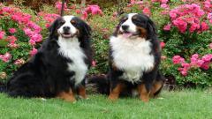 Bernese Mountain Dog 16460