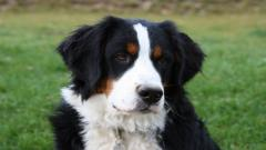 Bernese Mountain Dog 16463