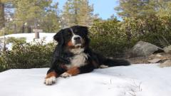 Bernese Mountain Dog Computer Wallpaper 16467