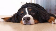 Bernese Mountain Dog 16468