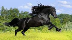 Black Horse Wallpaper 32515