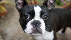 Bulldog 22973