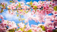 Cherry Blossom HD 41226