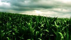 Corn Pictures 37697