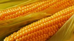 Corn Wallpaper 37687