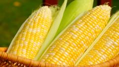 Corn Wallpaper 37689
