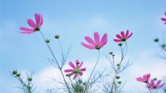 Cosmos Flowers 29231
