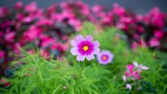 Cosmos Flowers 29232