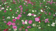 Cosmos Flowers 29234