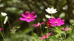 Cosmos Flowers 29242