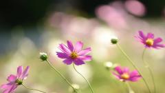 Cosmos Flowers 29246