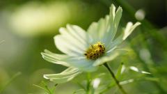 Cosmos Flowers 29251
