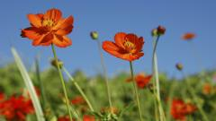 Cosmos Flowers Wallpapers 29237
