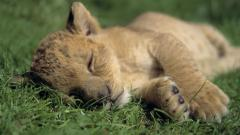 Cute Baby Lion 30530