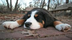Cute Bernese Mountain Dog 16462