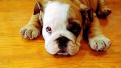 Cute Bulldog Wallpaper 22975