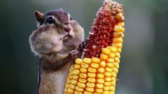 Cute Corn Wallpaper 37690