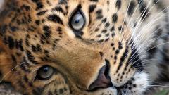 Cute Leopard Background 18410
