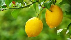 Fantastic Lemon Tree Wallpaper 42108