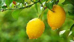 Fantastic Lemon Tree Wallpaper 42108