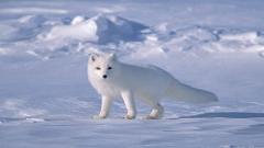 Free Arctic Fox Wallpaper 20051