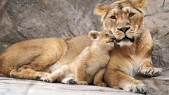 Free Baby Lion Wallpaper 30526