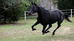 Free Black Horse Wallpaper 32514