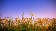 Free Corn Wallpaper 37686