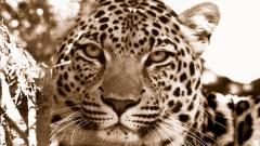 Free Leopard Background 18413