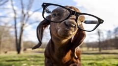 Funny Goat Wallpaper 17111