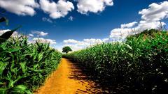 Gorgeous Corn Wallpaper 37696