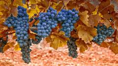 Grapes Tree Wallpaper 42114