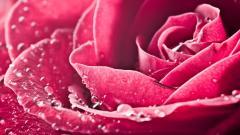 HD Pink Roses Wallpaper 23380