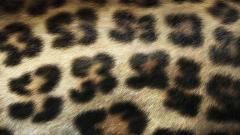 Leopard Print Wallpaper 20504