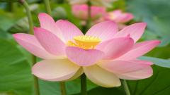 Lotus Flower Pictures 22573