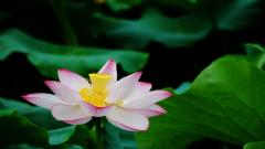 Lotus Flower Pictures 22576