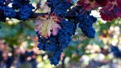 Lovely Grapes Tree Wallpaper 42116
