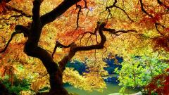 Maple Tree 30982