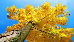 Maple Tree 30985