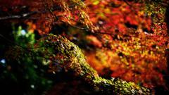 Maple Tree Wallpaper HD 30980